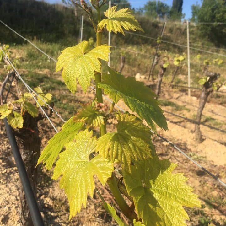 vendanges-bouteille_vigneron-producteur-vins-rugby-vigne-degustation-cuvee-chardonnay-grenache-syrah-viognier-merlot-pressoir-apero13