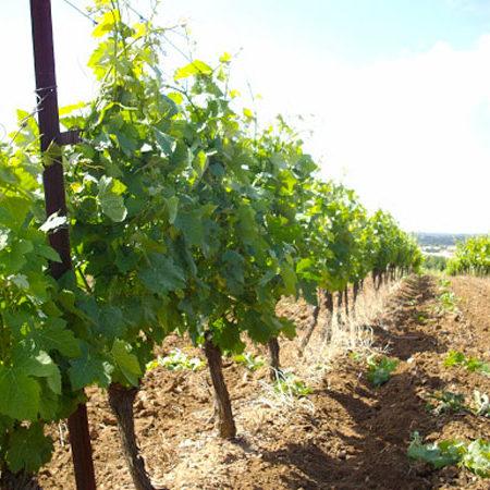 vigneron-producteur-vins-rugby-vigne-degustation-cuvee-chardonnay-grenache-syrah-viognier-merlot-pessoir-vendanges-apero12